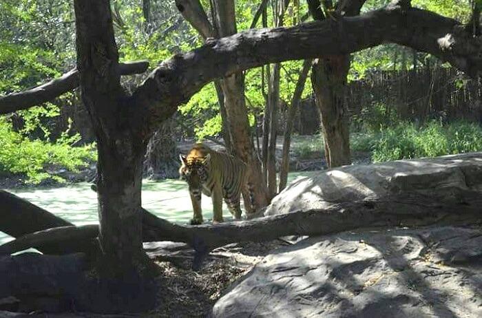 tigers at safari world