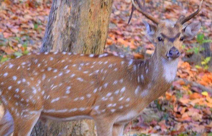jim corbett deer