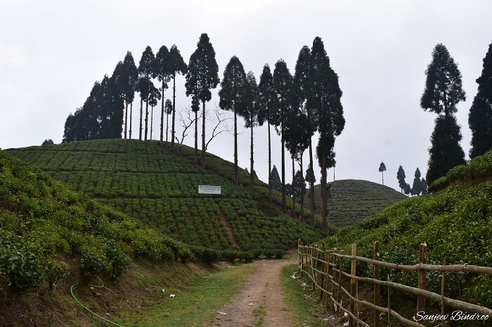 Tea Gardens in Darjeeling