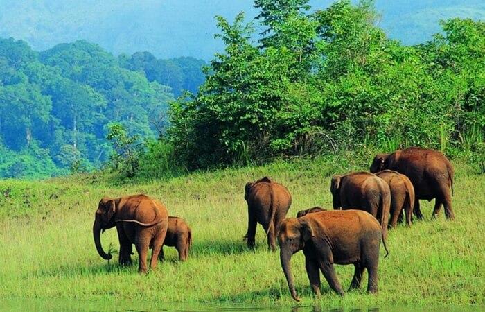 Elephants walking in a herd in Periyar Wildlife Sanctuary in Thekkady