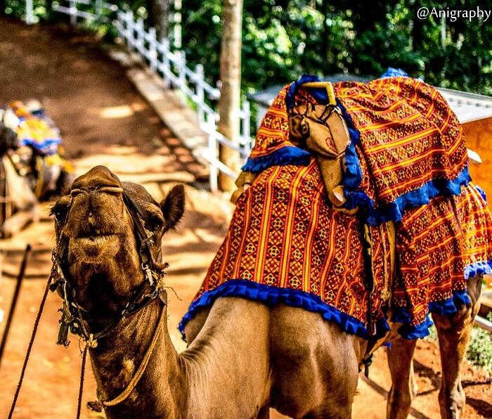 camel in munnar, kerala