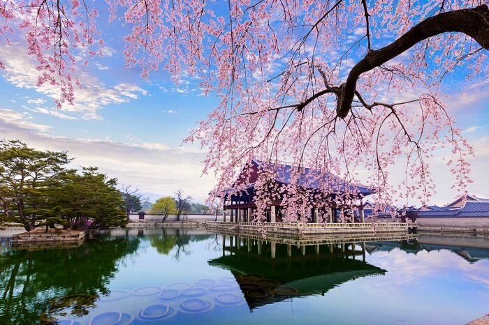 cherry blossoms in South Korea