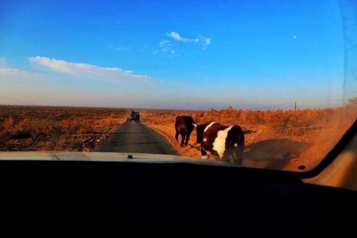 cattle mongolia desert