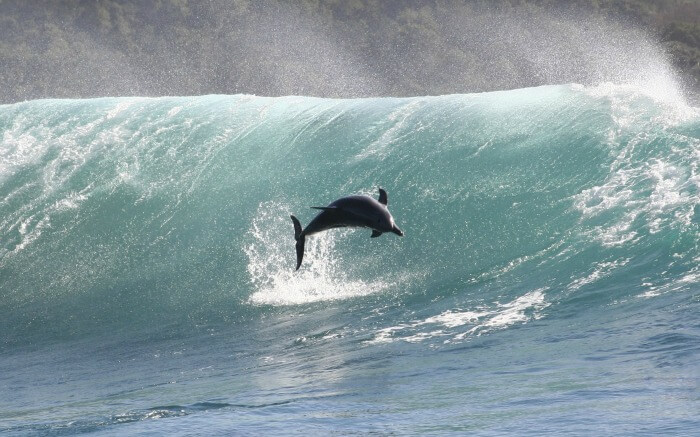 A dolphin diving during high tides