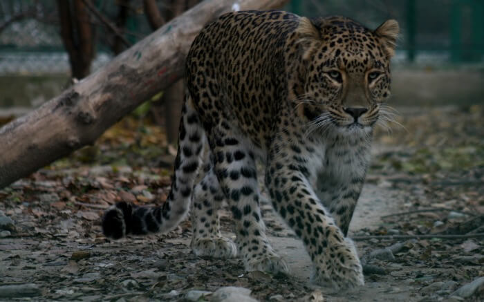 A leopard spotted in Dachigam National Park in Srinagar in Kashmir
