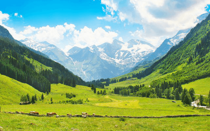 Cattles grazing in the Betaab Valley in Kashmir