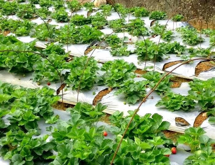 herbal plants in sri lanka