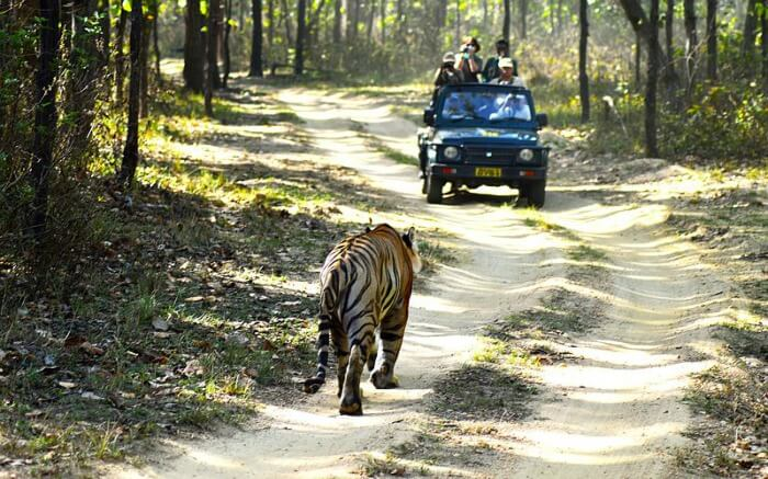 a bengal tiger in front of a jeep