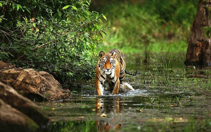 a bengal tiger in water in national park India