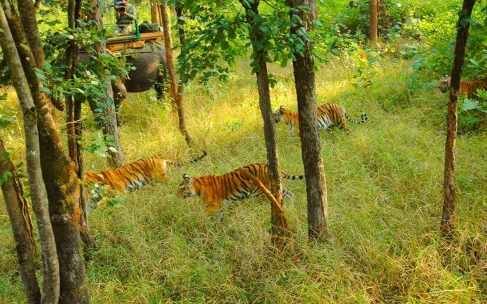 a pride of bengal tiger in a national park