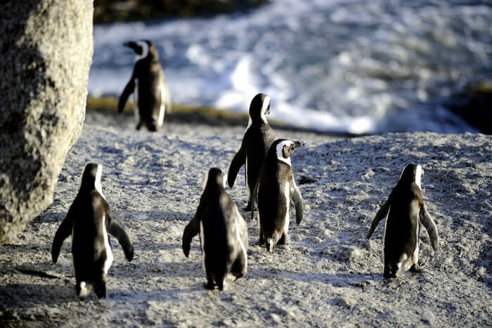 Penguins parading in Cape Town