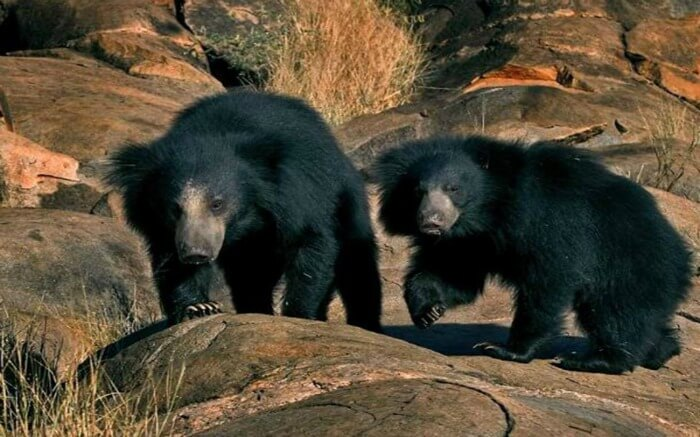 black sloth bears in Sanjay-Dubri National Park And Wildlife Sanctuary