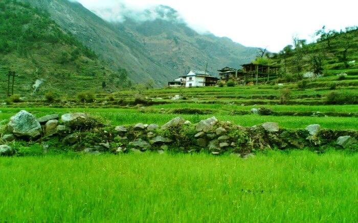 paddy fields of Kullu