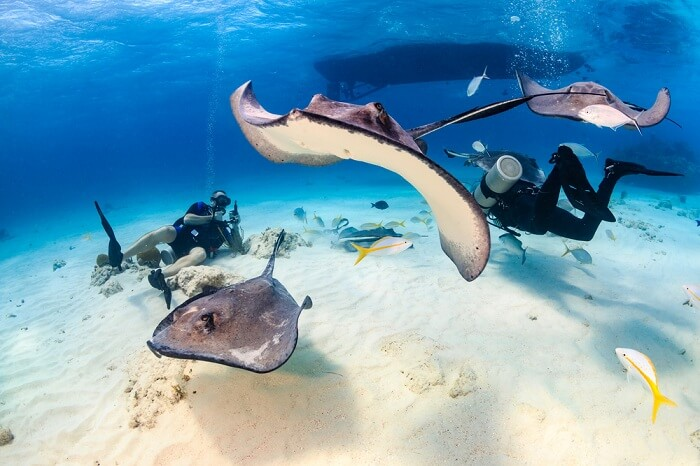 A couple swimming under the water with stingrays in Great Cayman Island