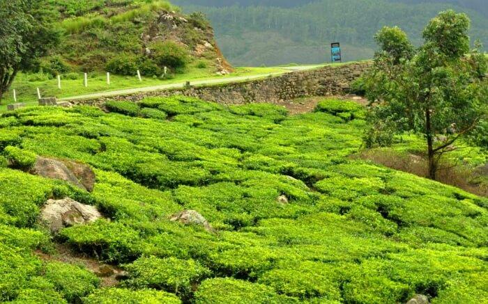 tea gardens of Palampur
