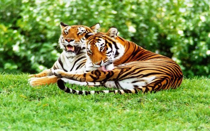 two bengal tigers in Satpura National Park