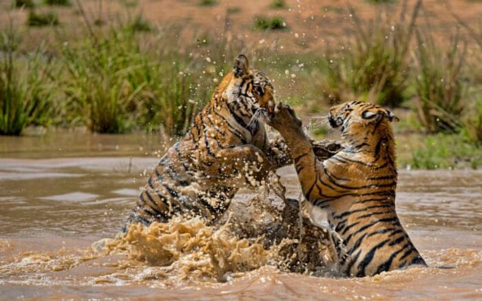 two bengal tigers playing in water