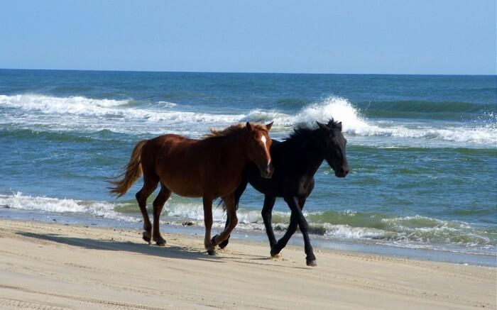 Horses on Corolla Beach North Carolina