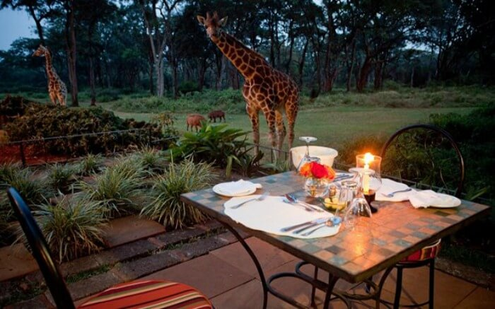 Giraffe looking at a dining table set up in a lodge in Kenya