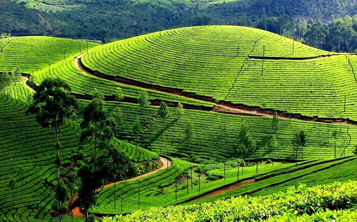 Tea plantations of Ooty