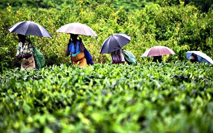 women walking through tea garden carrying umbrellas