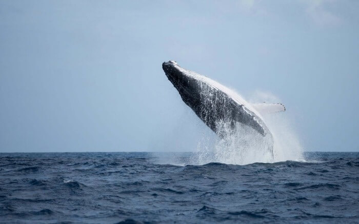 A playful humpback whale doing a backflip in Madagascar