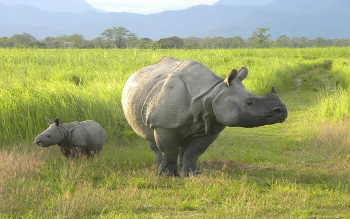 An adult and baby rhino walking on green fields