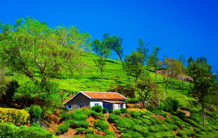 tea plantation in coonoor