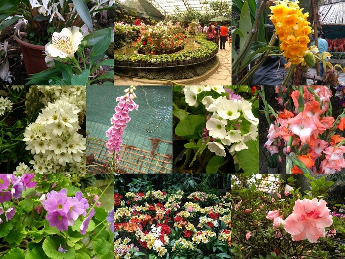 gangtok flower show