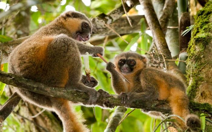 Golden lemurs playing on a tree in Ranomafana National Park