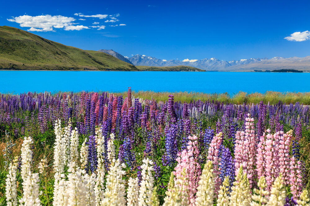 Lake Pukaki surrounded by colourful flowers