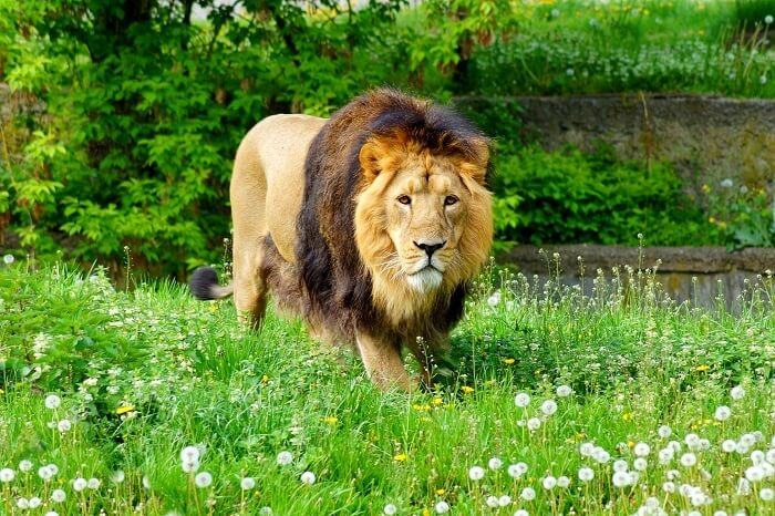Gir National Park Know All About The Kingdom Of Asiatic Lions
