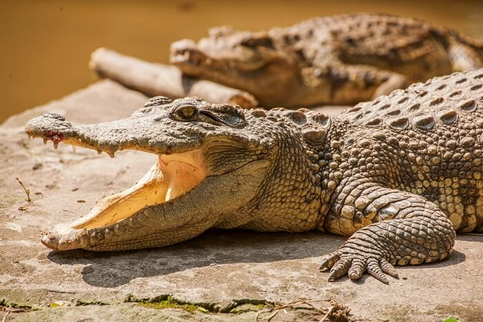 visit crocodile breeding farm