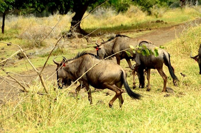 wild animals in mauritius