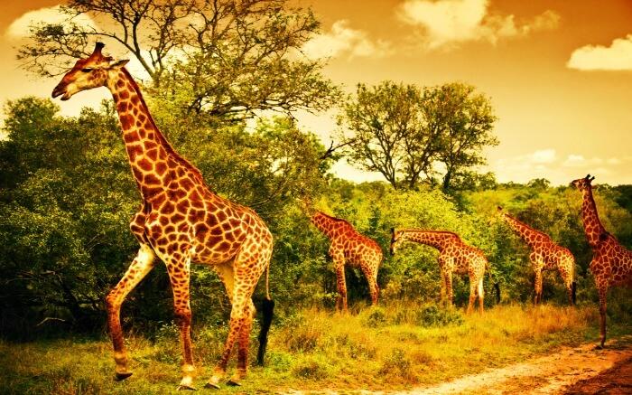 Giraffes roaming around in the jungle of Kruger National Park