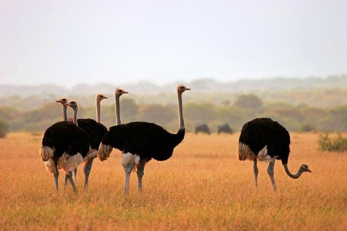 spot ostriches at Marakele National Park