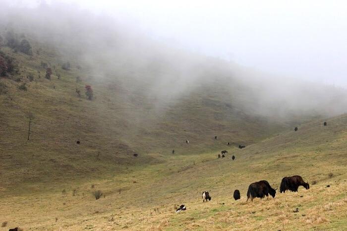 yaks in bhutan