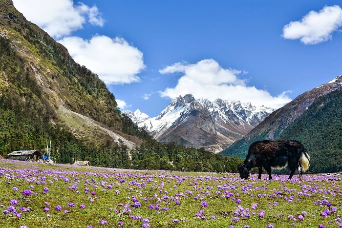 trek to Yumthang flower valley