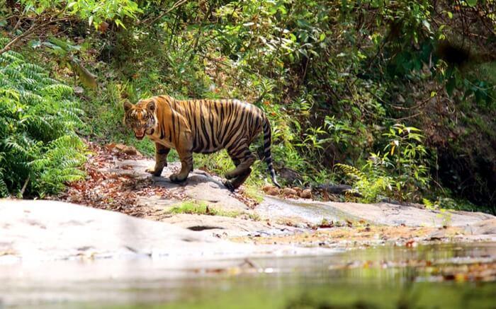 acj-2908-parambikulam-tiger-reserve- (3)
