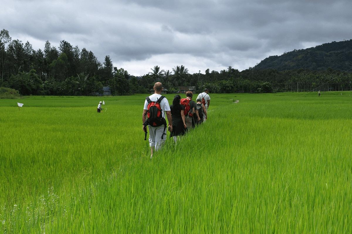 volunteers walking through the paddy fields