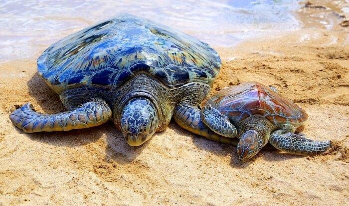 spot turtles trotting on nusa dua beaches bali