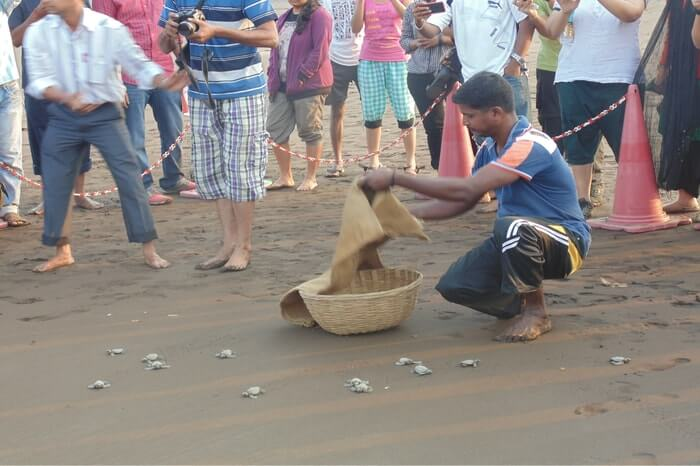 a guy collecting newborn turtles