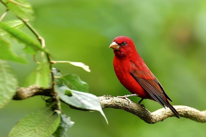 spot scarlet-finch in sikkim