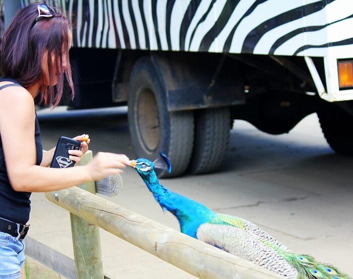 peacock in Mauritius