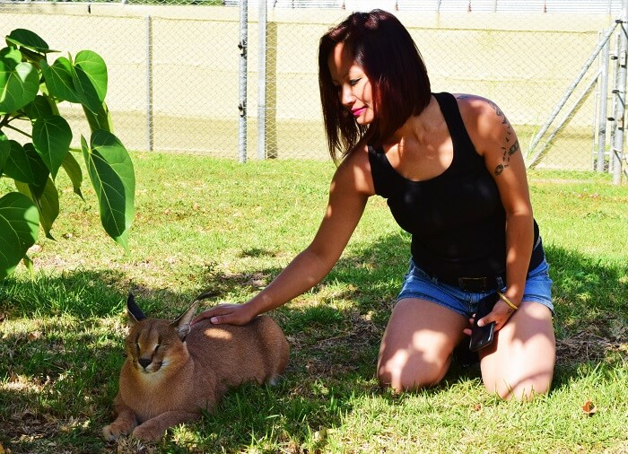 Caracal cats in Mauritius