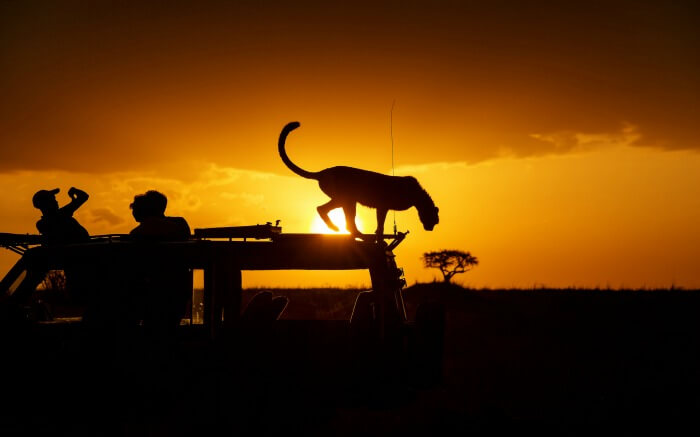 A cheetah standing on the roof of a safari jeep at sunset in Kenya