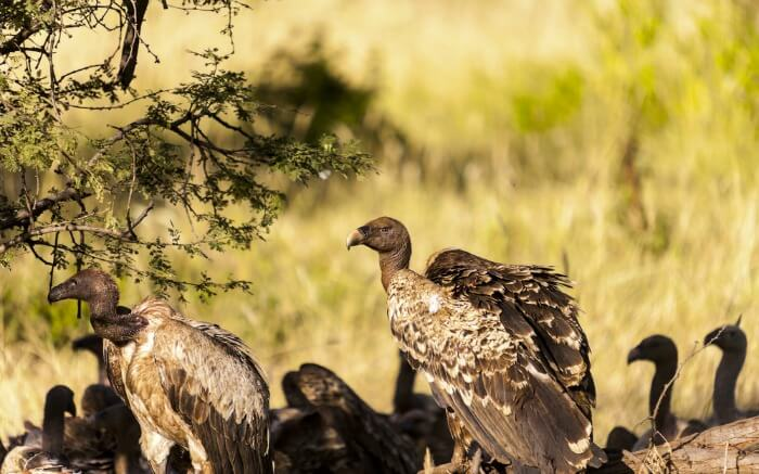 A group of African vultures in a national park in Kenya