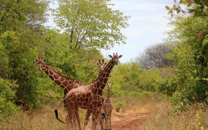 A group of giraffe posing for a photograph in Meru National Park in Kenya