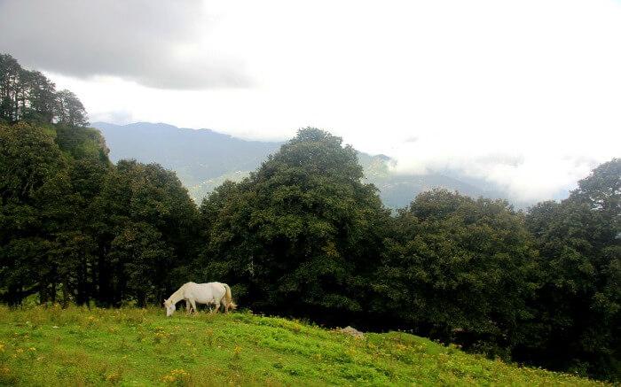 A horse grazing in a field near Hatu Peak in Narkanda