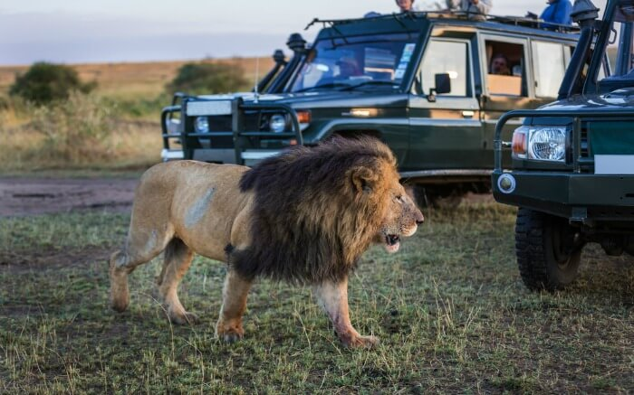 A lion walking past the safari jeep in a national park in Kenya